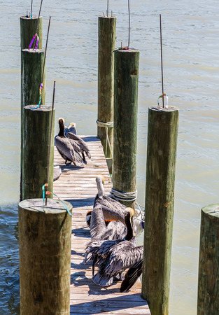 pelicans: Pelicans on an old wooden fishing pier