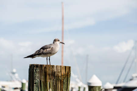 water bird: A seagull on a wood pier post with sailboats in the background
