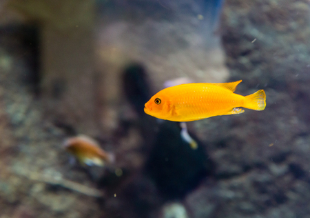 tropical tank: An Orange Tropical Fish in a saltwater tank