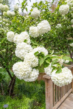 boule de neige: Snowball Tree in Green Garden