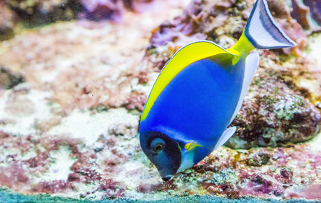 hepatus: Blue Tang in Tank with coral