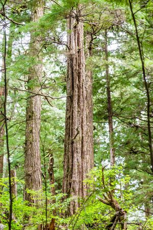 northwest: Old Growth Evergreens in the Pacific Northwest Stock Photo