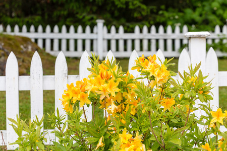 picket: Yellow Flowers on a White Picket Fence