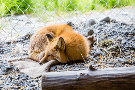 A young red fox sleeping in a cage