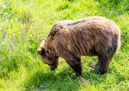 alaskan bear: An Alaskan brown bear feeding on grass Stock Photo