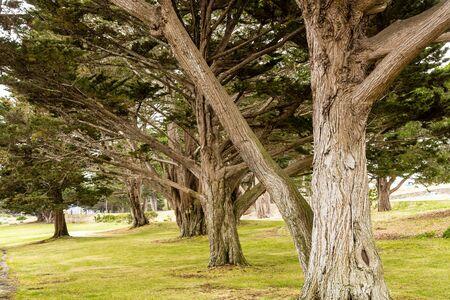 Massive Oceanside Oaks near Monterey