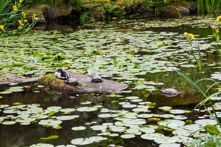 Green Lily Pads with Blooms in a Garden Lake with duck and turtles Stock Photo