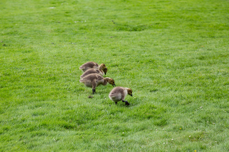 Baby Canada Geese feeding in the green grass
