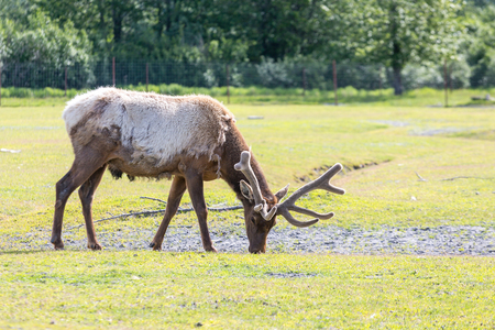 Male Caribou Feeding in Grass Stock Photo