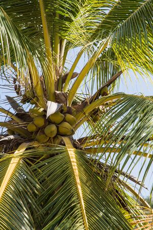 Coconuts on a palm tree toward the blue sky
