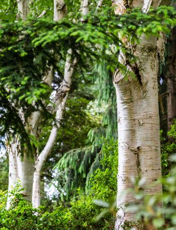 緑の森で白樺の木に白い樹皮