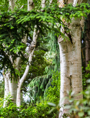 White Bark on Birch Trees in Green Forest Stock Photo