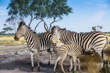 Zebras with Fawn on Grass Plain Stock Photo
