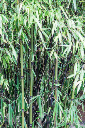 thicket: Black Bamboo Thicket in Garden