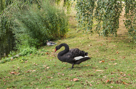 Black Swan in Grass by Pond
