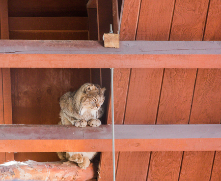rafters: Bobcat sitting in the rafters of an old wood barn