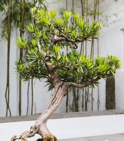 pastime: A beautifully pruned bonsai tree in a Japanese Garden