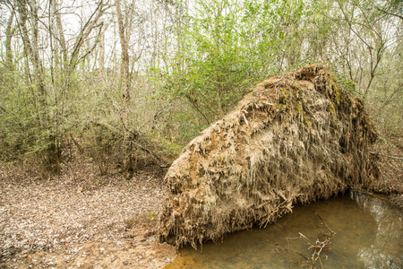 wind down: Roots of Uprooted Tree in Forest
