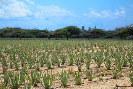 Field of Aloe Vera on Aruba