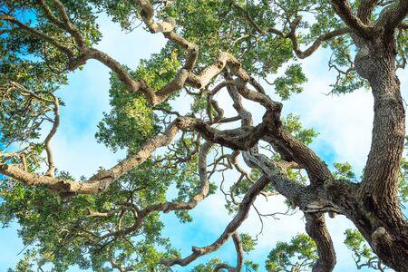 limbs: Twisted Oak Limbs Against Sky