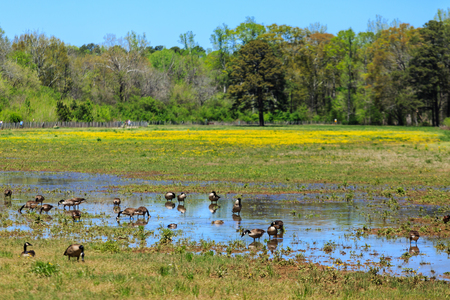 A flock of Canada Geese grazing and bathing in a marshy field