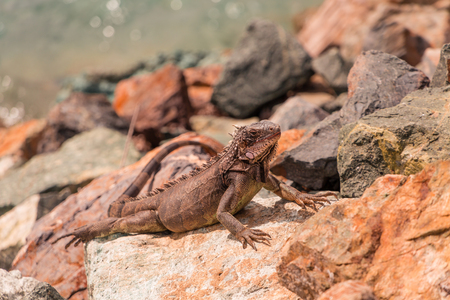 Lizard Basking on Rocks Фото со стока