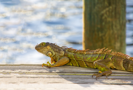 An iguana on a dock