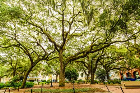 Oak Tree in Chippewa Square