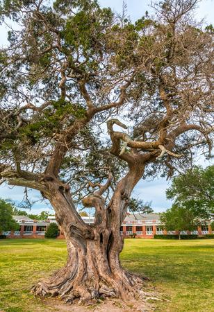 Old LIve Oak in State Park