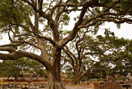 Massive LIve Oaks in Park Stock Photo