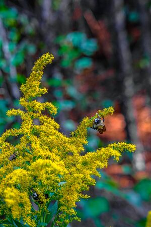 A BumbleBee on Goldenrod in Forest