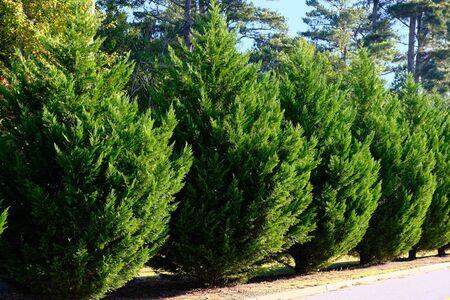 Leyland Cypress Trees d'affilée le long de la route comme couverture