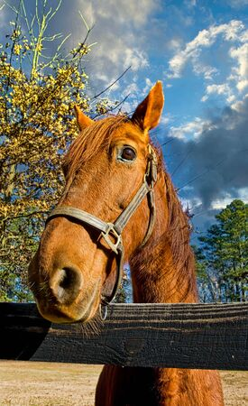 Horse Loking Over Fence