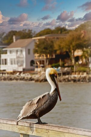 Pelican on Pier with Coastal Homes in Background Фото со стока