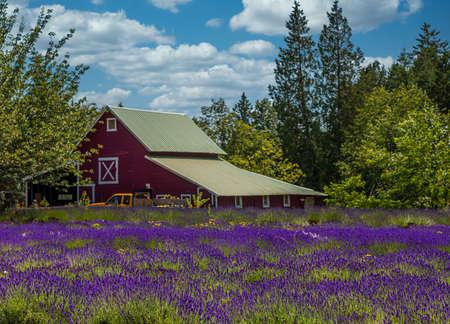 Red Barn Behind Lavendar Field