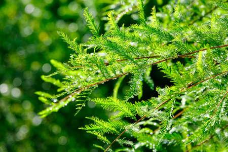 Dew Drops on Evergreen