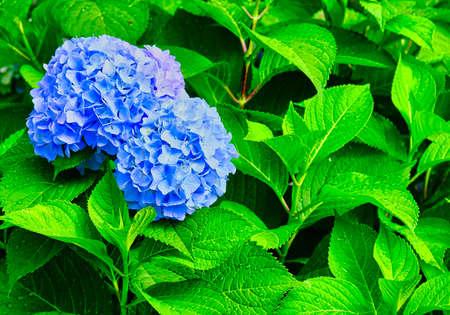 Blue Hydrangea Blooms on Wet Green Leaves