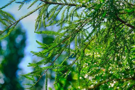 Rain Drops on Leyland Cypress Needles