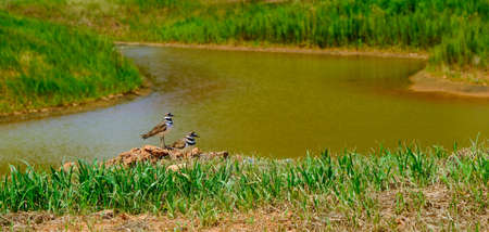 Charadrius vociferus near pond background. Фото со стока
