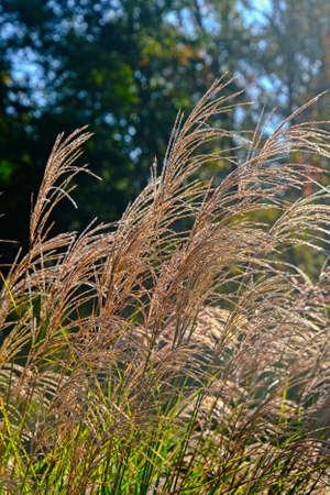 Icy Pampas Grass Фото со стока