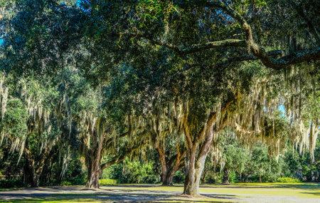 Spanish Moss in Southern Trees Фото со стока