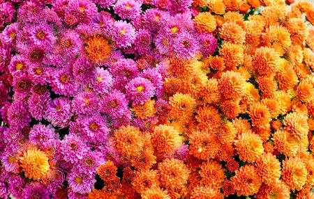 Pink and Orange Mums