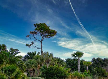 Lone Pine Tree in Palms Фото со стока