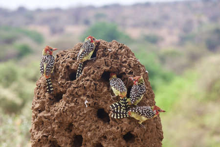 termite: A Group of Red-and-Yellow Barbets Eat Termites in Tanzania
