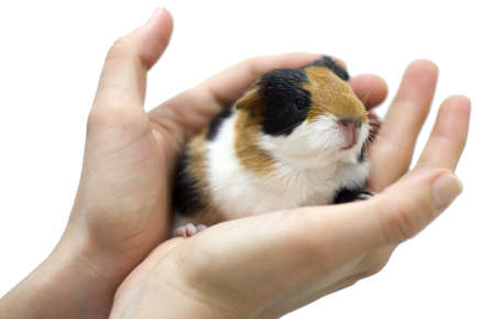 Guinea pig in his palm photo