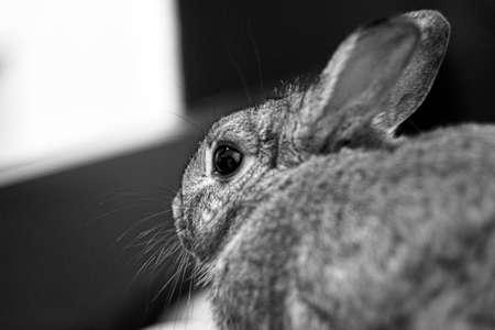 hermelin: Rabbit in the window Stock Photo