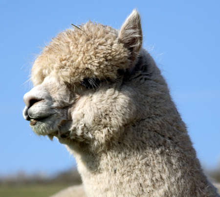 vicugna pacos: alpaca Stock Photo