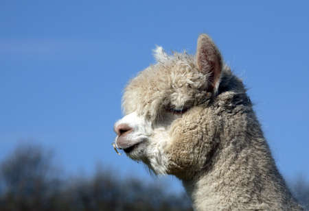 alpaca Stock Photo - 13172773