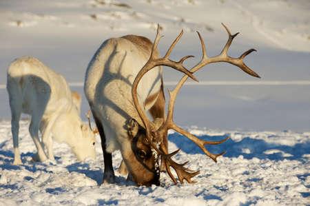Reindeers in natural environment, Tromso region, Northern Norway. Stok Fotoğraf