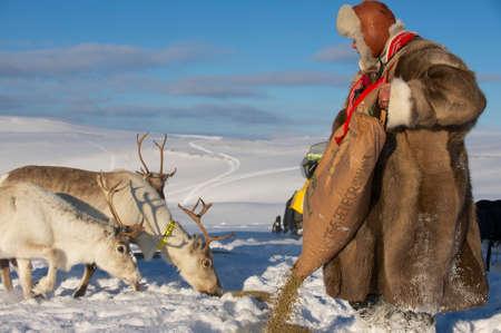 saami: Tromso, Norway, March 28, 2011 - Saami man feeds reindeers in harsh winter conditions, Tromso region, Northern Norway.